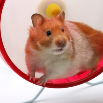 Hamster in a wheel